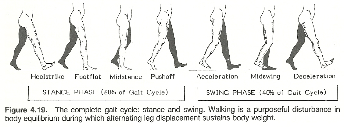 2 A Swing Phase When The Foot Is Moving Forward In The