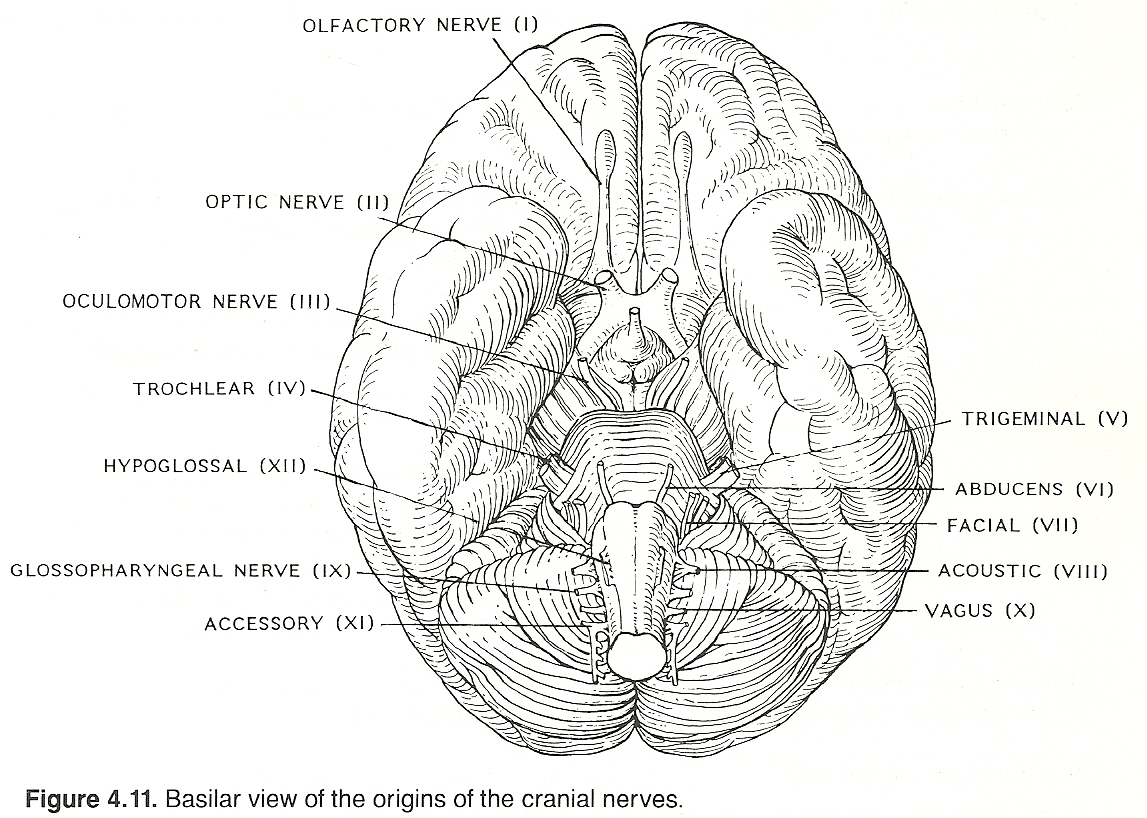 Gross Anatomy Of The Brain And Cranial Nerves Gallery - human body ...