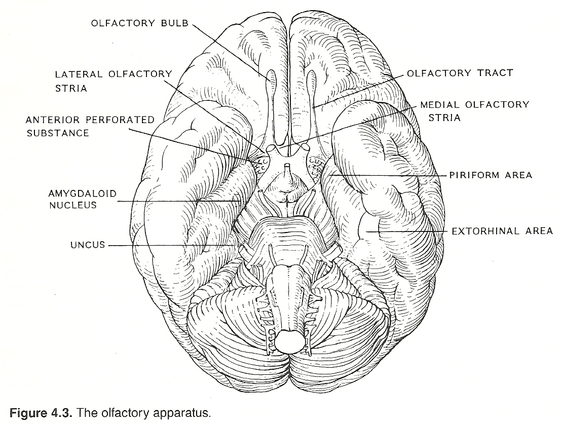 amygdala horizontal images reverse search