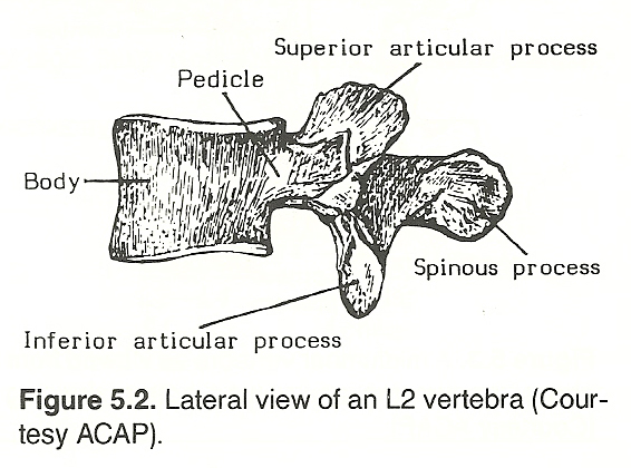 CHAPTER 5: THE LUMBAR SPINE