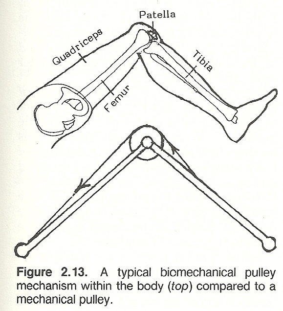 example of first class lever in human body
