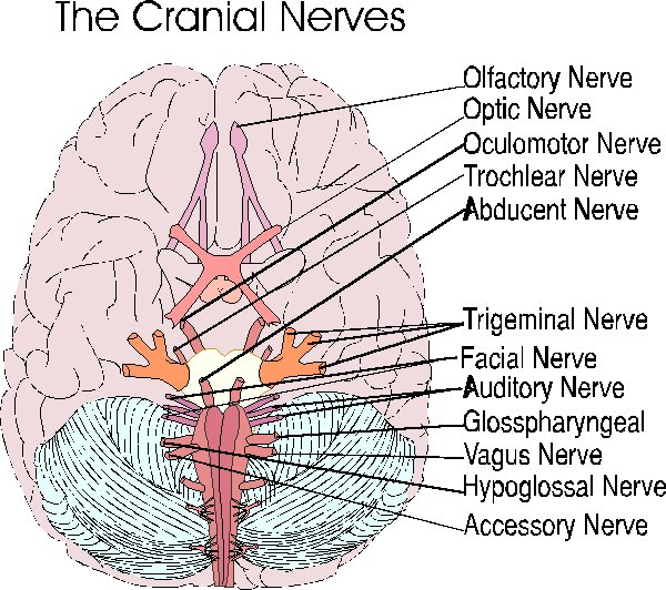 Brain nerves diagram